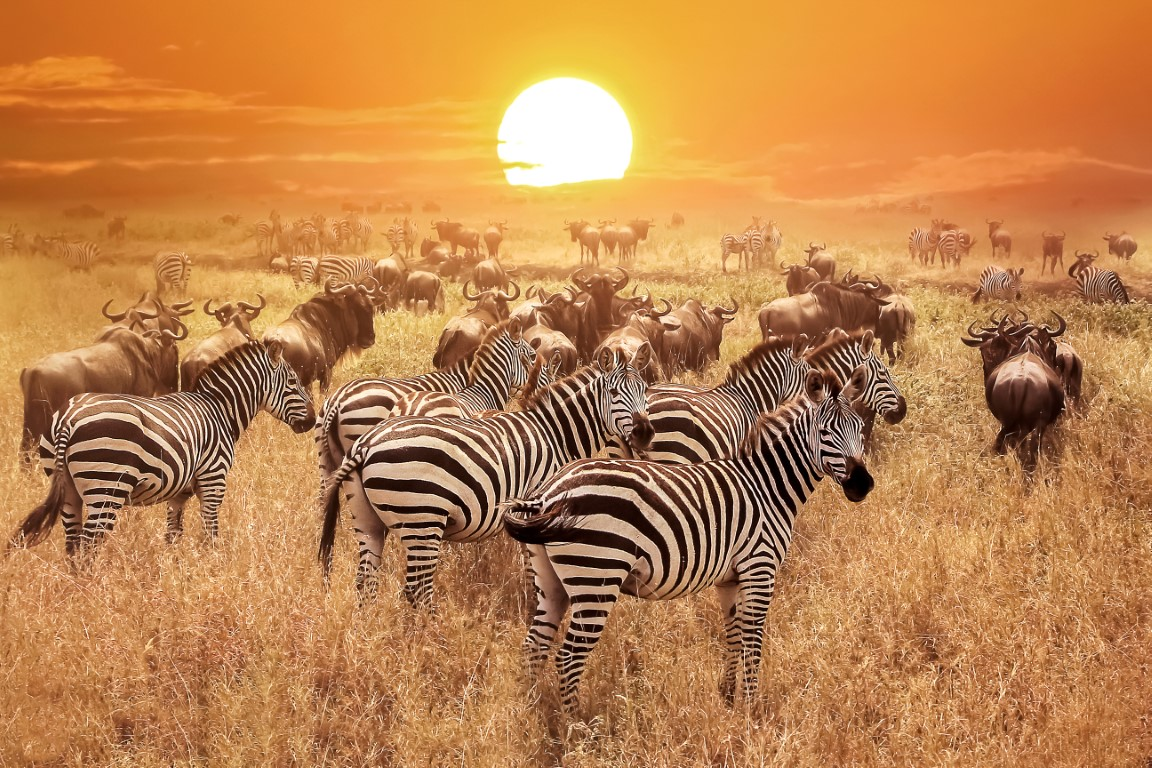 Tanzania Africa Serengeti National Park Zebras at sunset