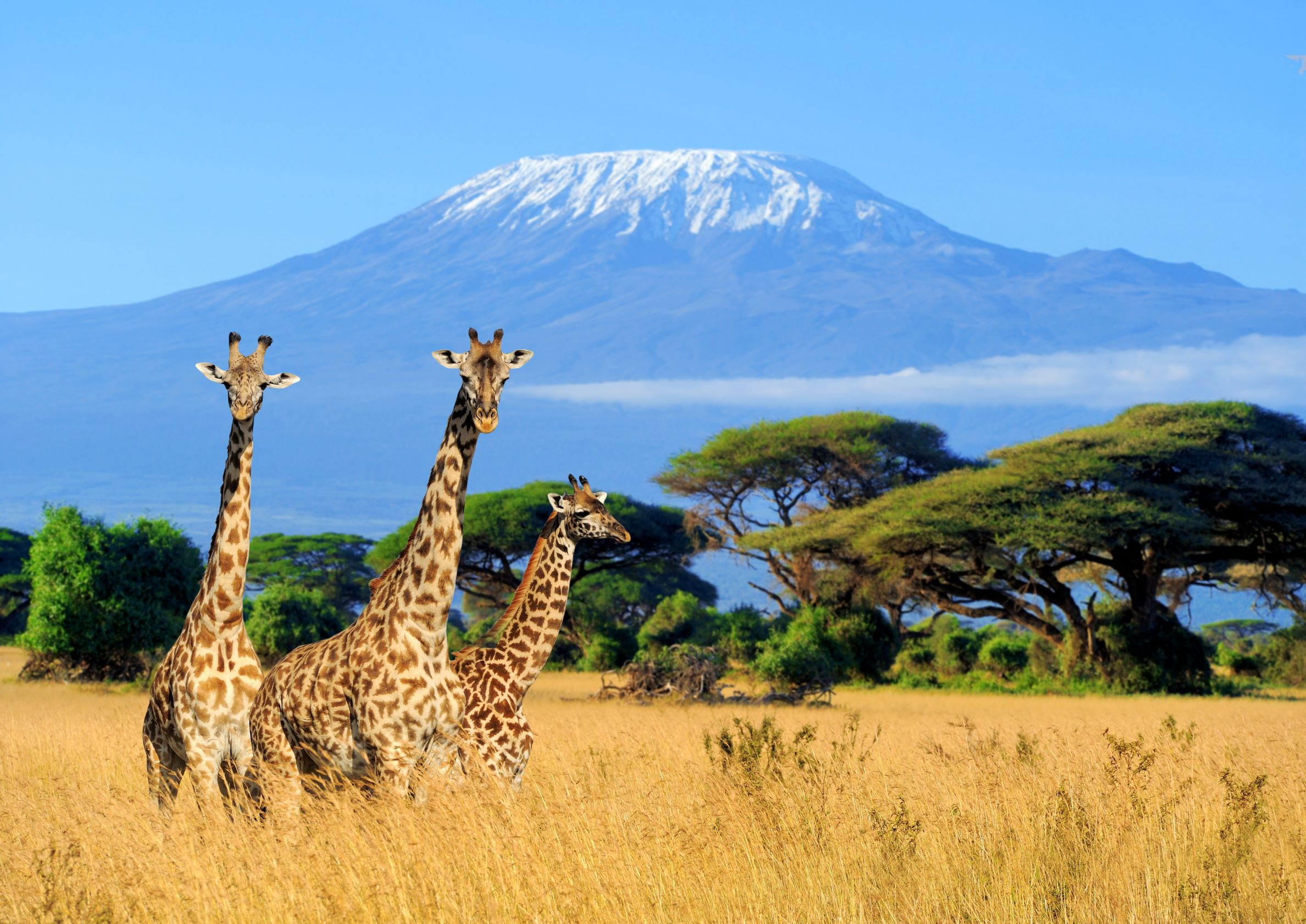 Three giraffe in National park of Kenya